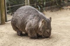 KoalaPk-1835-1024-669